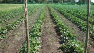 Выращивание огурцов в открытом грунте Фото