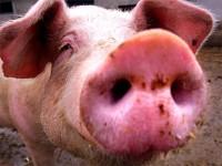Выращивание свиней в домашних условиях фото