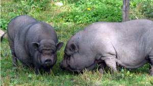 Вьетнамская порода свиней фото