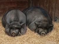 Вьетнамские свиньи фото
