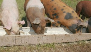 Кормление свиней фото