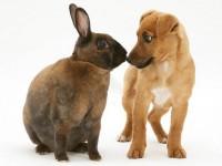 Кролики породы Рекс фото