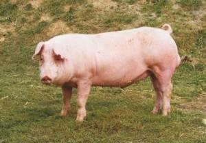Ландрас порода свиней фото
