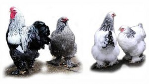 Мясная порода кур Брама фото