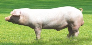Мясная порода свиней Ландрас фото