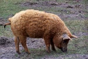 Мясная порода свиней Мангал фото