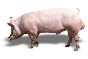 Мясные породы свиней фото