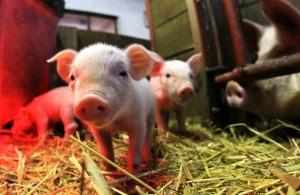 Опорос свиней фото
