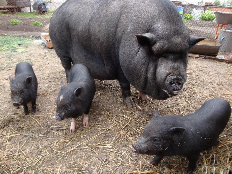 Вьетнамские свиньи скачать книгу