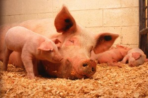 Разведение свиней фото