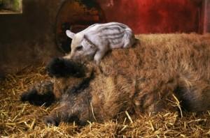 Свиньи породы мангал фото