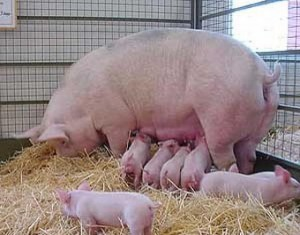 Уход за свиноматкой и поросятами после опороса