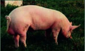 Эстонская беконная порода свиней фото