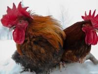 Мясные породы кур