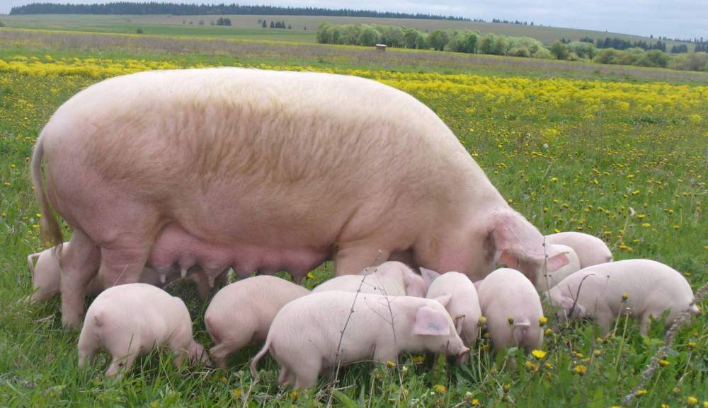 Украина: Поголовье свиней в январе-апреле увеличилось на 1% до 7,9 млн. голов