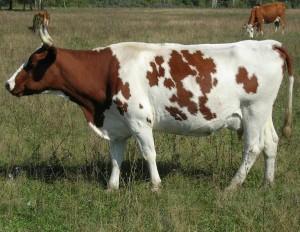 Айширская порода коров фото