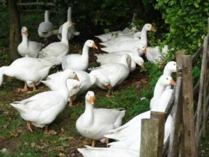Итальянская белая порода гусей фото