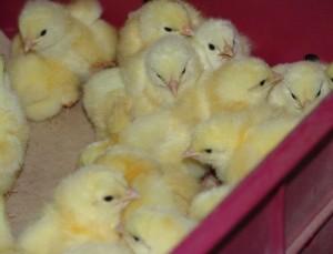 Как купить цыплят бройлеров