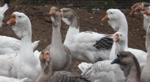 Кормление холмогорских гусей фото