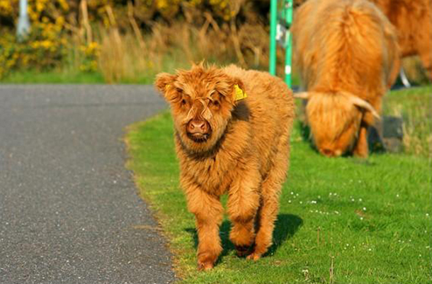 Коровы Хайленд фото