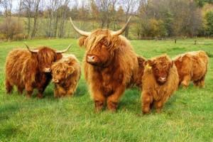 Мини коровы Хайленд фото