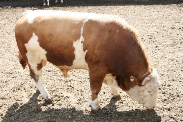 рацион питание бычков на откорм