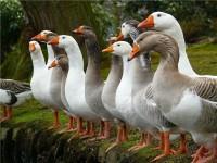 Породы гусей фото