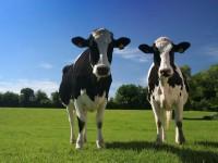 Породы коров фото