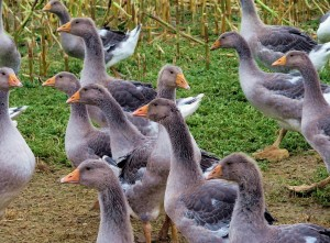 Разведение гусей в домашних условиях фото