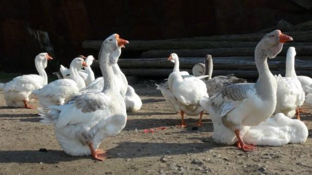Фото холмогорские гуси
