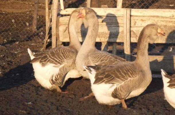 Холмогорская порода гусей фото