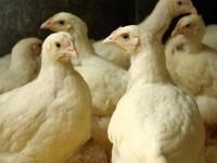 Цыплята бройлеры фото