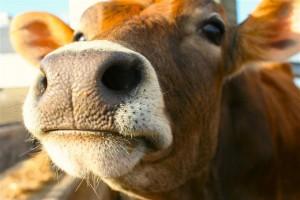 Как откормить бычка на мясом фото