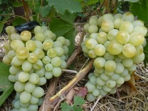 Сорт винограда Антоний Великий