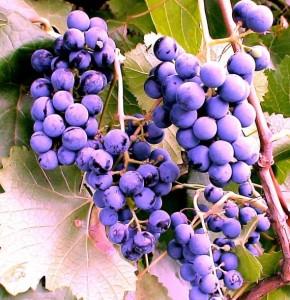 Виноград Фиолетовый ранний фото
