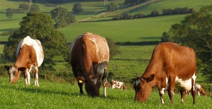 Гарнзейская молочная порода коров