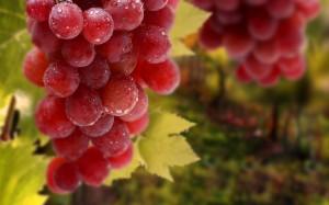 Самые лучшие сорта винограда