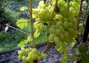 Самый лучший сорт винограда Восторг