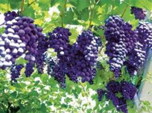 Виноград ранний Мускат