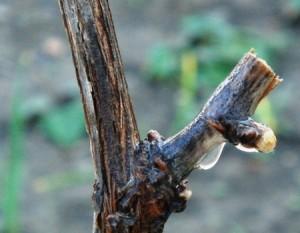 Обрезка винограда весной фото