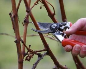 Обрезка винограда осенью фото