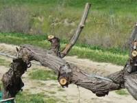 Обрезка винограда фото