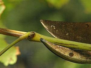 Осенняя обрезка винограда фото