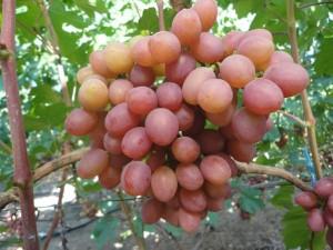 Виноград ранний Гурман фото