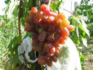 Сорт раннего винограда Преображение