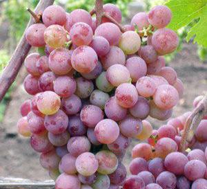 Сорт Русский ранний виноград фото