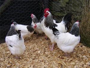 Суссекс мясо-яичная порода кур фото