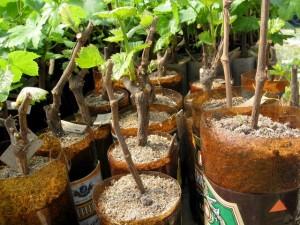 Укоренение черенков винограда по Радчевскому фото