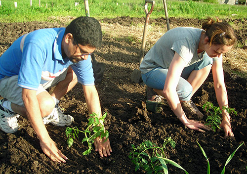 Выращивание томатов в открытом